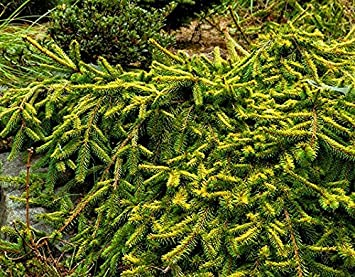 Weeping Gold Drift Norway Spruce 2