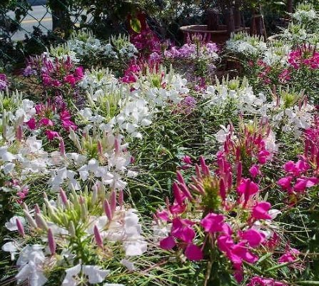 ueen Cleome Mixed - 500 Seeds - Large Flower Clusters - 4-6ft Tall ()