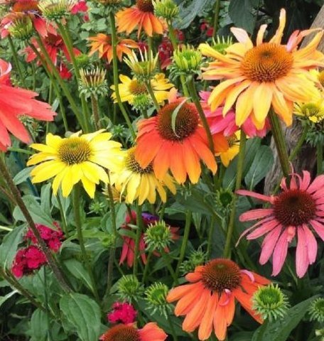 Fresh Echinacea- Miscellaneous Varieties - Lost TAG - Coneflower - Starter -
