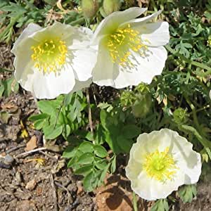 Plant World Seeds - Papaver Sendtneri Seeds