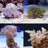 (海水魚 サンゴ) おまかせプチサンゴ(ソフトコーラル)(5個) 本州・四国限定[生体]