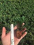 Blue Sargent Juniper Qty 60 Live Evergreen Ground Cover Plants