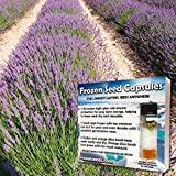 Broadleaf Lavender Seeds (Lavandula latifolia) 20+ Medicinal Herb Seeds + Free Bonus 6 Variety Seed Pk - a .99 Value! Packed in FROZEN SEED CAPSULES for Growing Seeds Now or Saving Seeds for Years