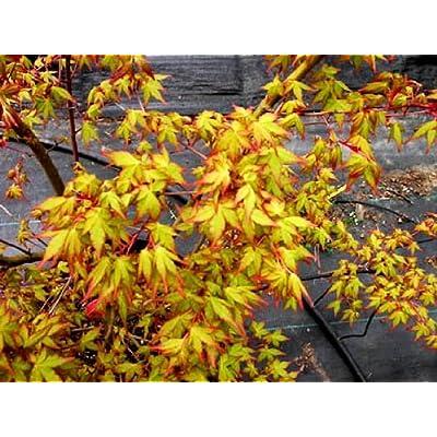 Ueno Homare Japanese Maple 2 - Year Graft : Maple Trees : Garden & Outdoor