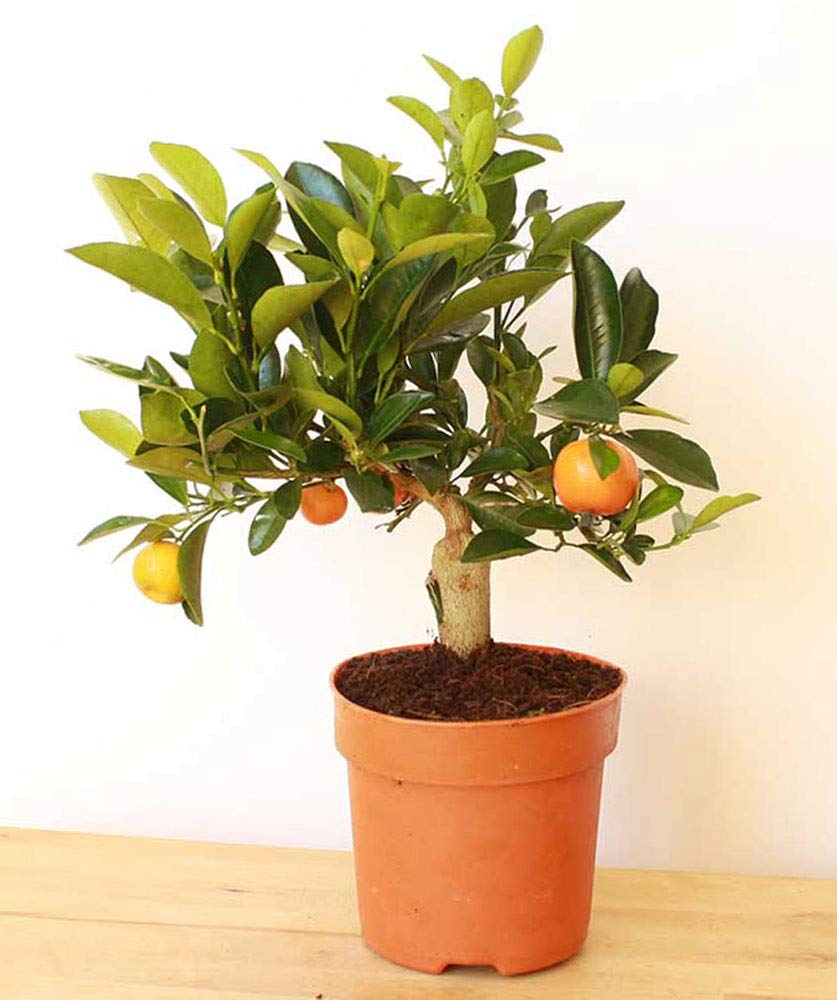 Dwarf Orange Tree 40cm www.plants4presents.co.uk