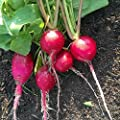 German Giant Radish Seeds - Heirloom Garden Seeds, Non-GMO - Vegetable Gardening and Micro Greens
