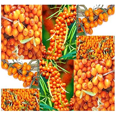 Sea Buckthorn or Seaberry ('Hippophae Rhamnoides') - 119 Medicinal Shrub Seeds : Garden & Outdoor