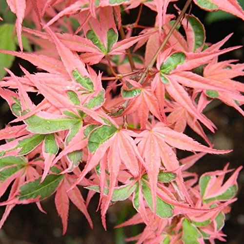 Amazoncom Kagiri Nishiki Japanese Maple Heavily Variegated Red