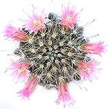 Mammillaria bocasana Powder Puff Cactus (4'' + Clay Pot)