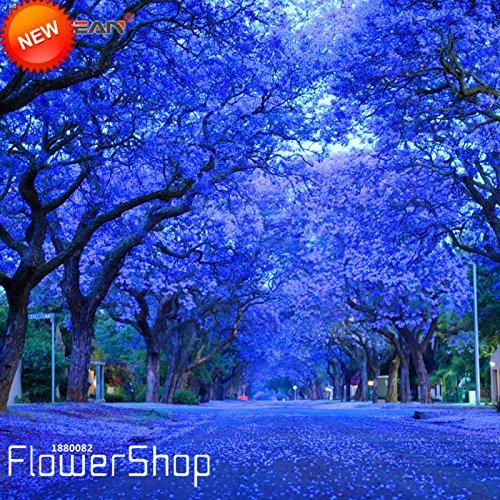 big-saletree-seeds-flower-20pcs-lot-blue-purple-jacaranda-mimosifolia-tree-shrub-seeds7dvuw5