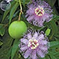 2018 Hot Sale Davitu Passiflora Incarnata Maypop Passion Flower Seeds, 30 Seeds, Professional Pack, Heirloom Home Garden Big Flowers