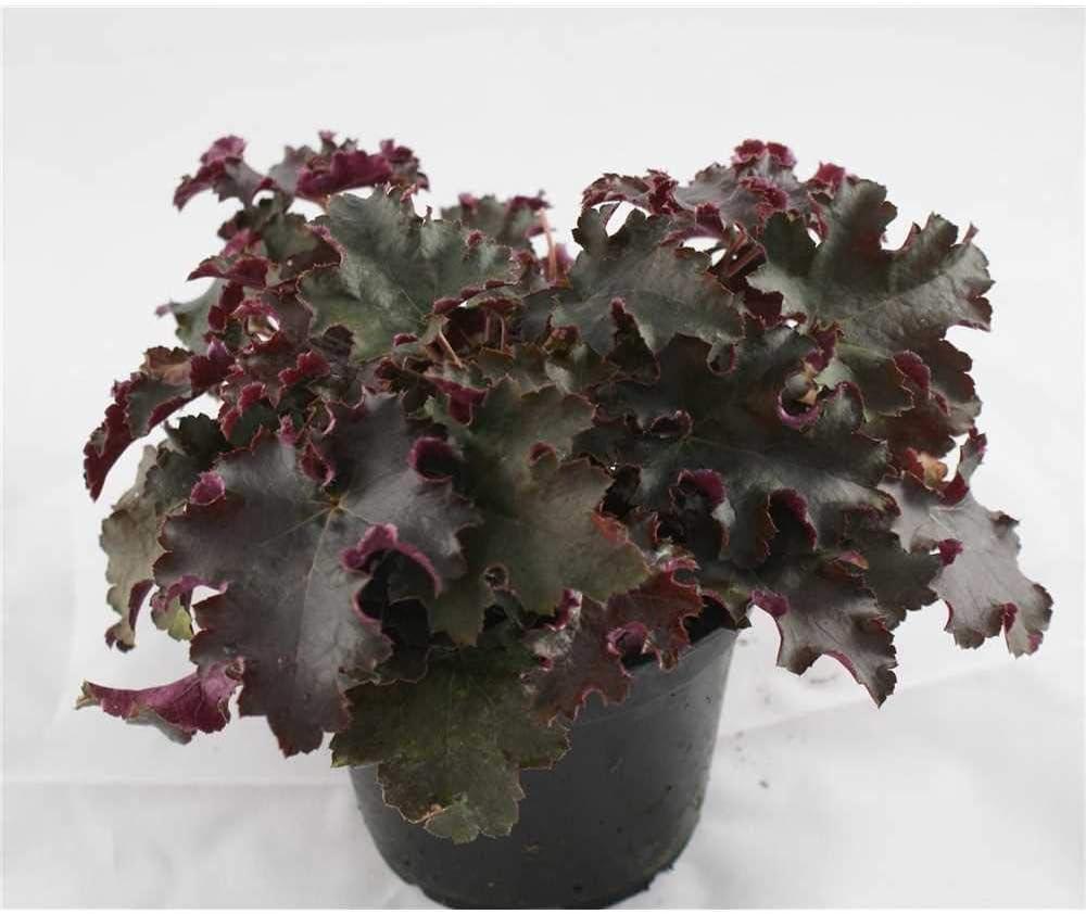 in G/ärtnerqualit/ät von Blumen Eber 12cm im Topf 12 cm winterhart Purpurgl/öckchenPurple Petticoats Heuchera
