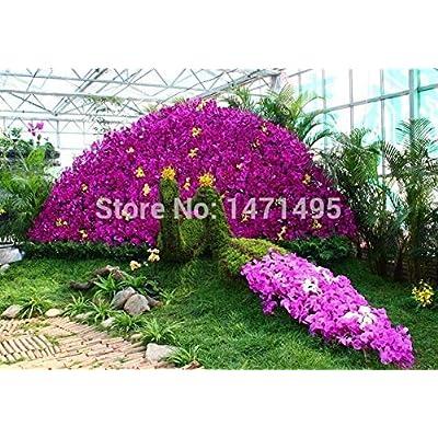 Real Rare Orchid Bonsai Balcony Flower Butterfly Orchid Bonsai Phalaenopsis Orchids -50 pcs Bonsai Beautiful Garden: Garden & Outdoor