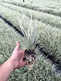 Aztec Grass - 15 Live Plants - Variegated Liriope Ophiopogon Intermedius Argenteomarginatus Evergreen Ground Cover