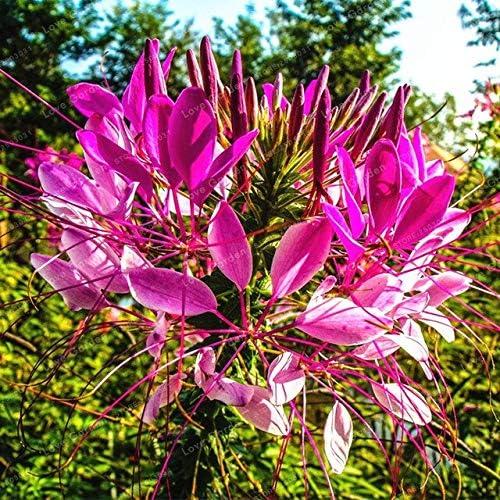 Cleome Spinosa Semillas 30 Unids/bolsa Jardín Bonsai Semillas de Flores Cleome Spinosa Jacq Flores Plantas Diy Home Garden Plantación: Amazon.es: Jardín