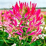 David's Garden Seeds Flower Cleome Cherry Queen Mix SL3445 (Multi) 50 Non-GMO, Open Pollinated Seeds