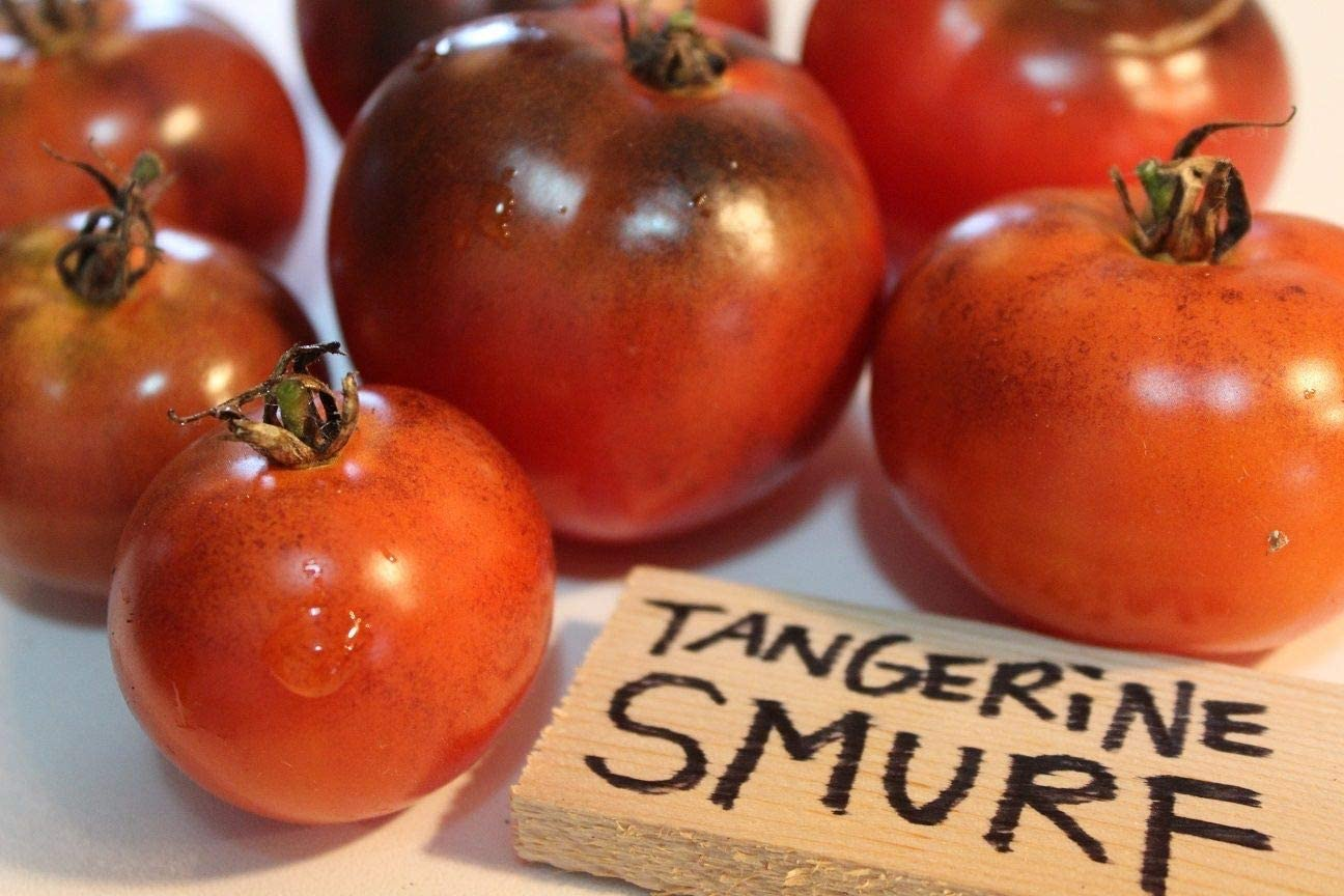 ScoutSeed Tangerine Smurf Tomato Seeds - 5 Semillas Solamente - Â¡Naranja Y Azul!
