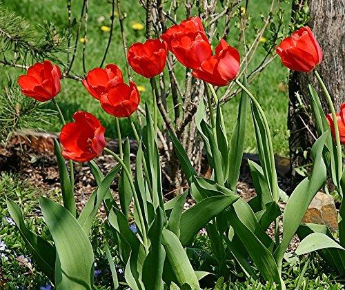 Nianyan 25 Parade Tulip Bulbs - Tulipa Darwin Hybrid ()