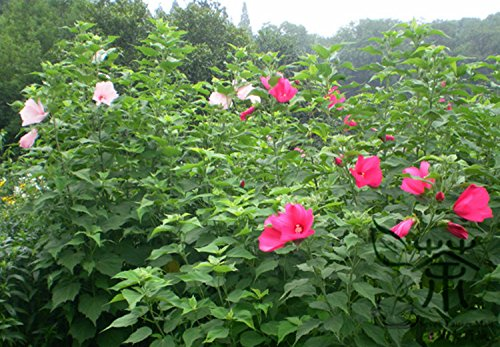 (Much Loved Hibiscus Moscheutos Seeds 1000pcs, Ornamental Plant Rose Mallow Flower Seeds, Bright Coloured Swamp Rose-mallow Seeds)