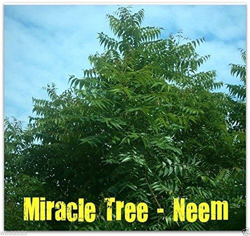 Neem Plant - 8