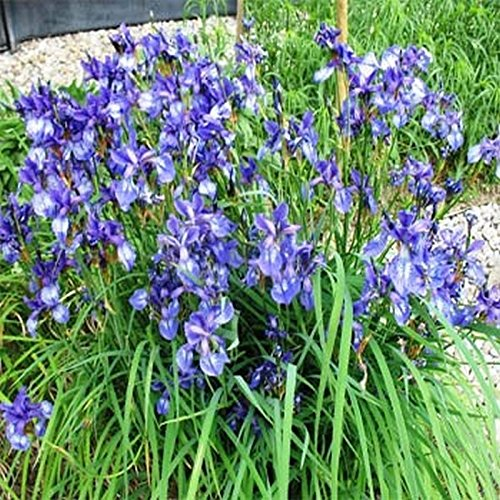 Wild Blue Iris Seeds - Hummingbirds love the blue! Shades of blue to violet!!!!!(100 - Seeds) (Iris Wild)