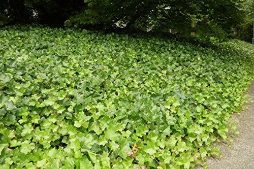 English Ivy (Hedera Helix), Flat of 50 (Best Ground Cover To Choke Out Weeds)