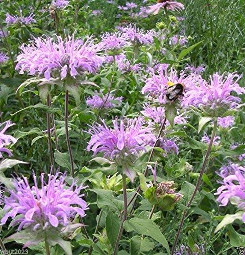Wild Bergamot ,Mintleaf Bee Balm Seeds,Monarda Fistulosa - Perennial herb plant(1 Packet 2000 Seeds)