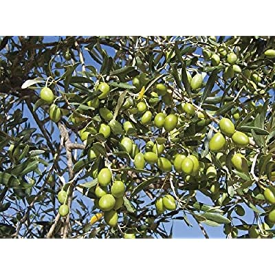 Olive Tree 'Mission' Olea Europaea Live Plant GG : Garden & Outdoor