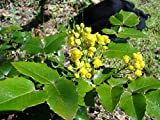 20 Seeds of Oregon Grape Tall / Mahonia aquifolium