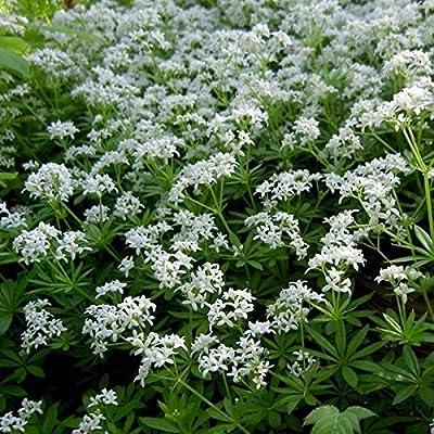 Sweet Woodruff Seeds (Galium odoratum) 10+ Medicinal Herb Seeds : Garden & Outdoor