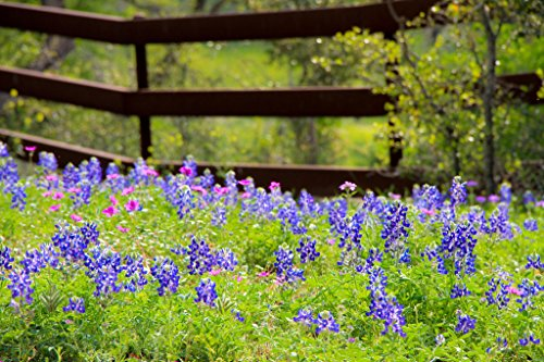 Texas Bluebonnets in a Fenced Field Pasture Photo Art Print