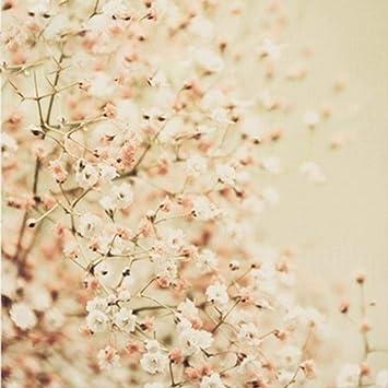 Adolenb Seeds House- 50pcs étoiles graines de fleurs, fleurs ...
