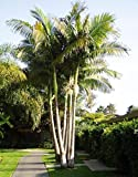 King Alexander Palm Live Rooted Potted Triple Seedlings 6-10 inches Tall Drought Resistant Plant Easy to Grow Ready for Planting (3 Plant Pack)