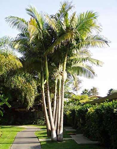King Alexander Palm Live Rooted Potted Triple Seedlings 6-10 Inches Tall Drought Resistant Plant Easy to Grow Ready for Planting (5 Plant Pack)