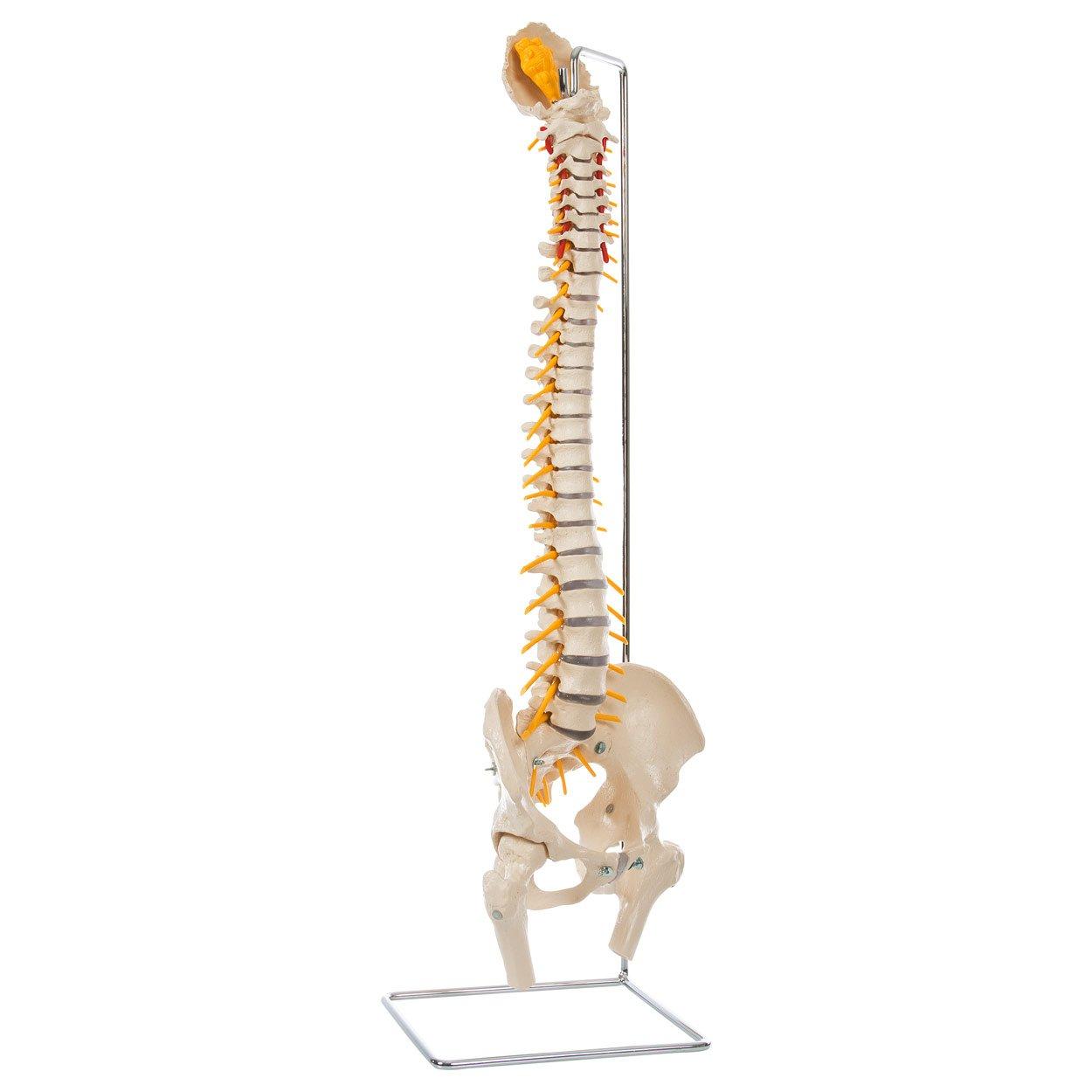 Wirbelsäule inkl. Stativ, Anatomie Modell, anatomisches Lehrmittel ...