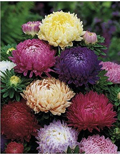Aster Flower Seeds Peony Mix annuals from Ukraine (Peony Mix)