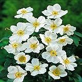12 Plants : Anemone hybrida Honorine Jobert - 12 Plants