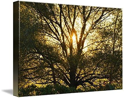 Amazon com: Imagekind Wall Art Print entitled Willow Tree At Sunset