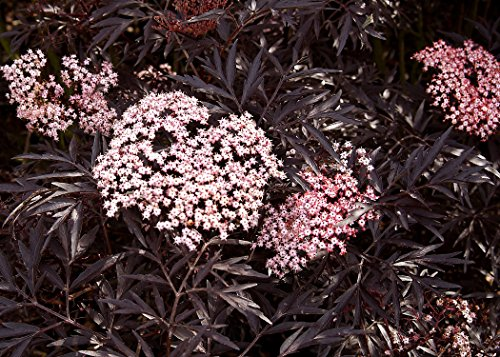 Black Lace Elderberry (Sambucus) Live Shrub, Pink Flowers, 4.5 in. Quart by Proven Winners (Image #1)