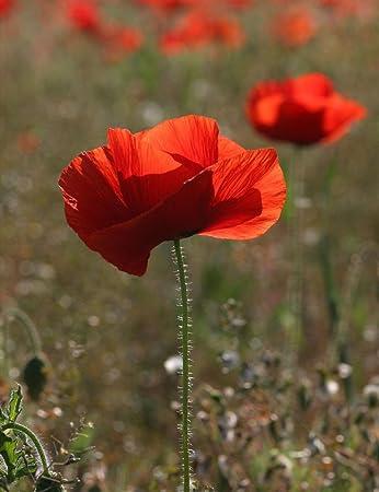 Amazon 500 thru 10k red corn poppy flower seeds papaver rhoeas 500 thru 10k red corn poppy flower seeds papaver rhoeas poppy seed mightylinksfo