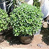 Boxwood Plant - Mini Bonsai Yellow A for Families Absorb Formaldehyde Buxus Potted Boxwood 50 Pcs