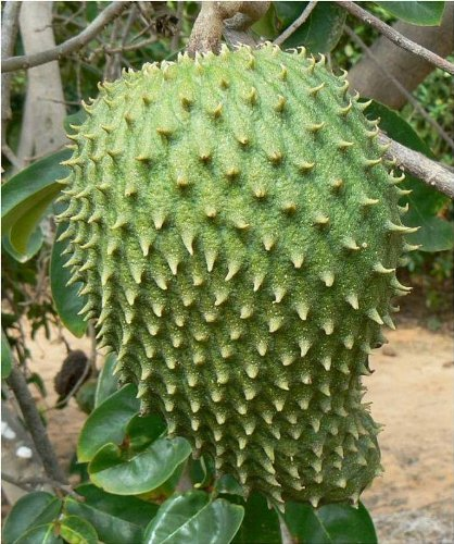25 Giant Soursop SeedsRareExotic Annona Muricata, Graviola, Guanabana by Giant Bean Bag Chairs