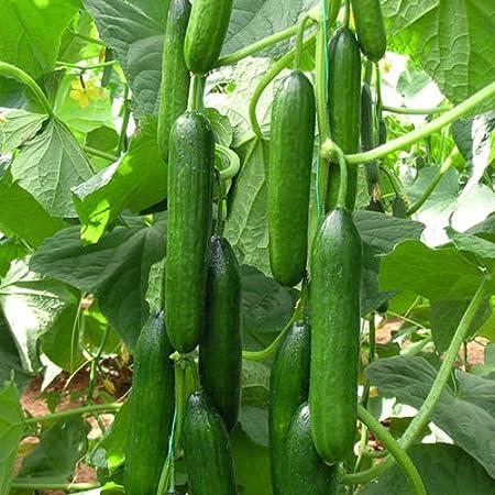 Amazon Com Cucumber Beit Alpha 60 Seeds Fresh Persian Flavor