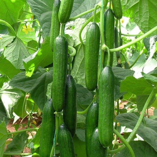 Cucumber Beit Alpha (60 seeds) Fresh Persian (Garden Cucumber)
