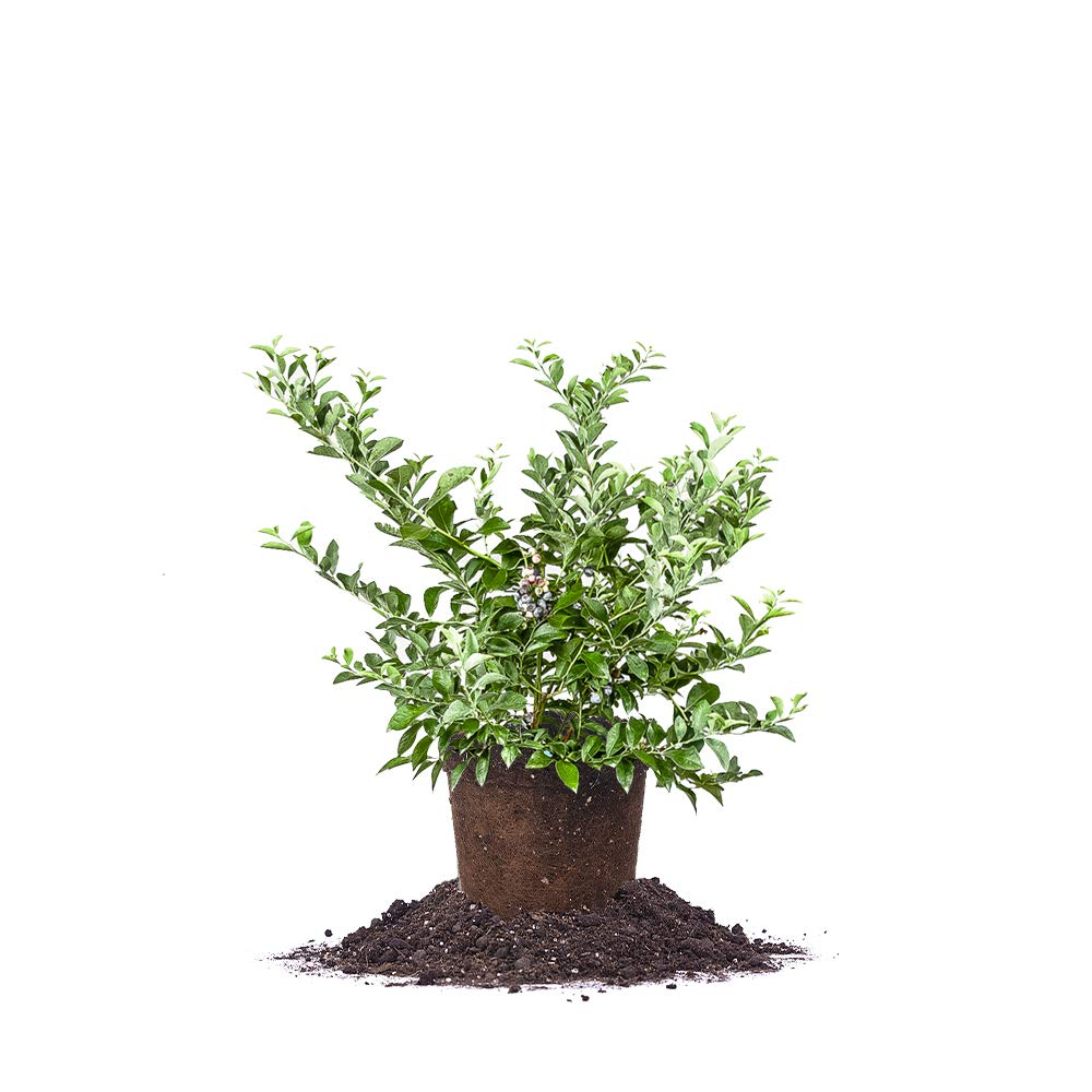 Perfect Plants Tifblue Blueberry Live Plant, 1 Gallon, Includes Care Guide by PERFECT PLANTS