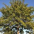 25 Acorns Seeds PIN OAK tree grows 70 feet tall swamp Spanish Quercus palustris