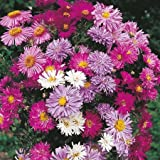 30 seeds of Perennial Aster Michaelmas daisy NY Mix Flower