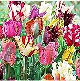 Parrot Mix Tulip Bulbs - Tulipa Parrot!