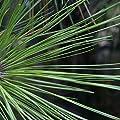 LOBLOLLY PINE Pinus Taeda 10 SEEDS