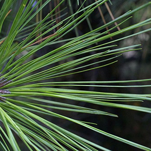 30' Needle Long (LOBLOLLY PINE Pinus Taeda 10 SEEDS)